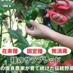 固定種のミニトマトとねぎの種をまく