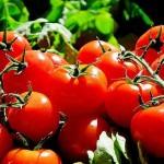 家庭菜園のすすめ ミニトマト育ててみませんか