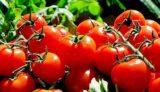 tomatoes-1280859