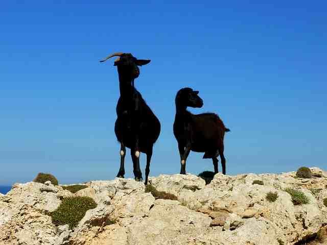 billy-goat-1572334