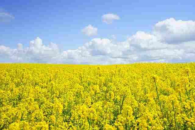 field-of-rapeseeds-474558