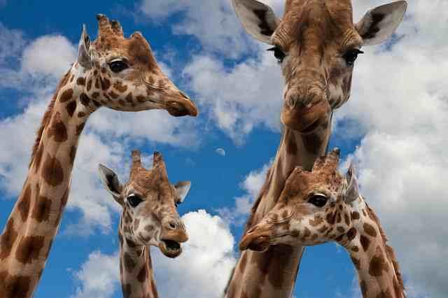 giraffes-627033
