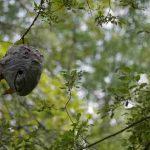 庭木にスズメバチの巣が