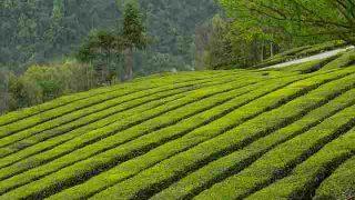tea-garden-2221923
