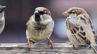 sparrows-2759978